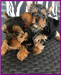 looking to Yorkie PuPPiEs FOR SALE