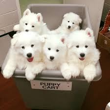 Pue White Samoyed Puppies For Sale
