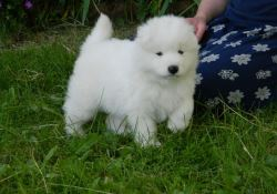 AKC Samoyed Puppies For Sale