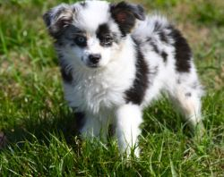 Toy and Miniature Australian Shepherd Puppies For Sale