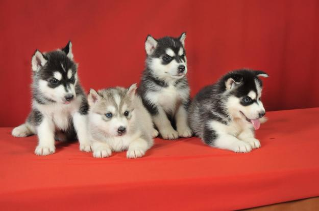 Husky puppies available for new homes text (504) 500-1494