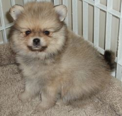 Gorgeous pure breed Pomeranian babies ready to go now.