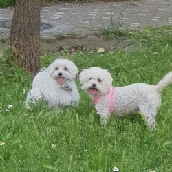Maltese Dog for Sale