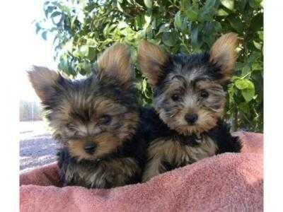 Male & female Yorkie puppies available