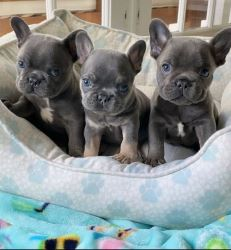 Well Trained French Bulldog Puppies TEXT 6572511878